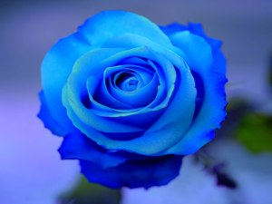 beautiful-blue-rose-wallpaper1